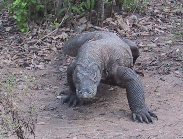 Komodo Dragon For Sale