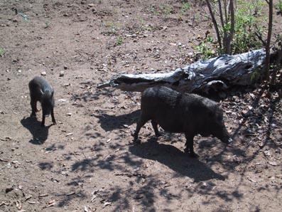 Komodo Dragon - Hunting